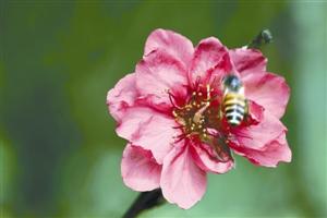 深圳的桃花开了