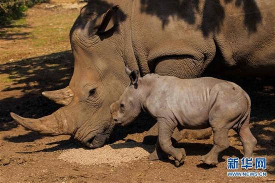 以色列动物园的白犀牛(高清组图)