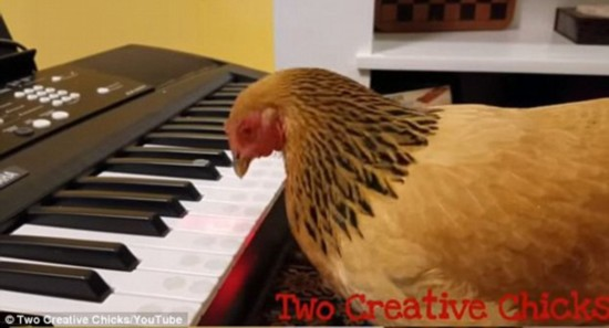 震惊!美国一矮脚鸡可用钢琴奏出爱国曲(图)