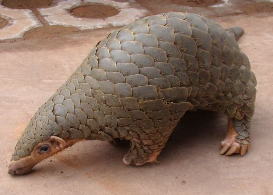 Pangolin dinner prompts calls for species' protection