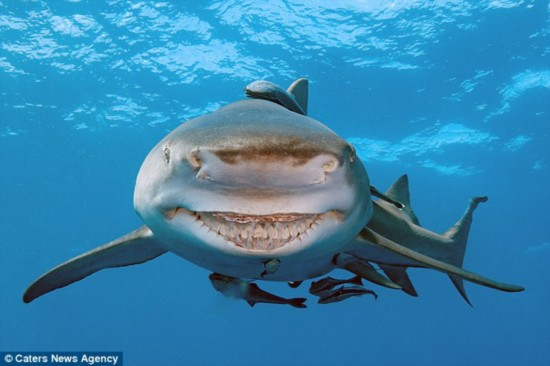 这条鲨鱼总是保持微笑 神似动画角色(组图)
