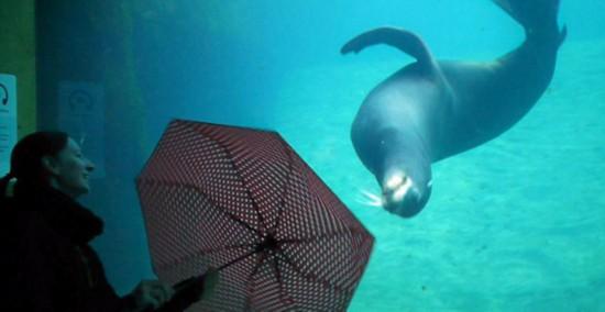 小海狮跟着女孩雨伞一起旋转 逗趣惹人爱(图)