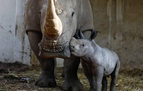 可爱犀牛宝宝粘妈妈:形影不离主动献吻(图)