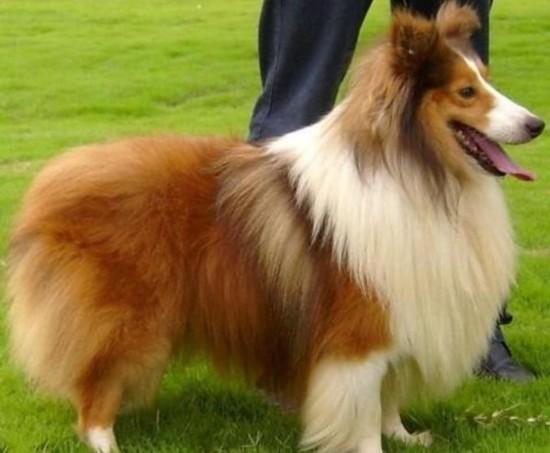 小狗叼1元买火腿 盘点世界智商最高的十种狗