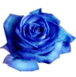 """情人节苏州""""染色花卉""""受欢迎 玫瑰满天星成主流"""