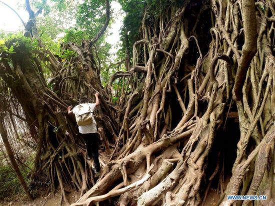 600-year-old balete tree seen in Aurora Province, the Philippines