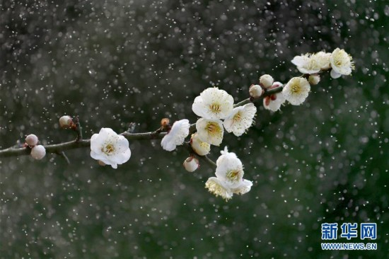 #(视・觉)雨中梅