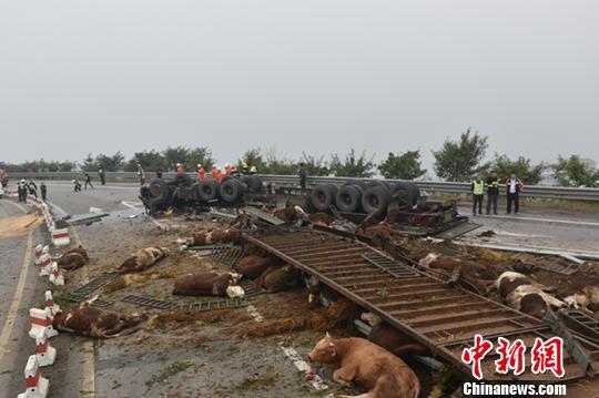 重庆丰都一挂车侧翻高速匝道48头牛被摔翻在地