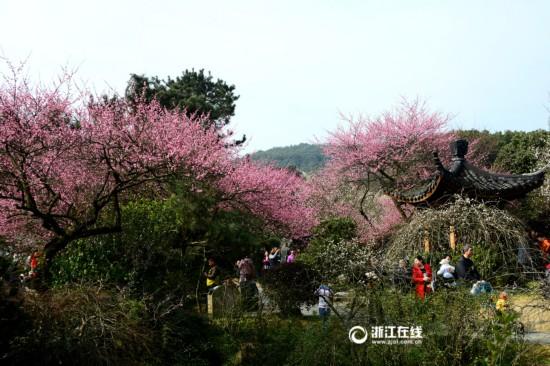 杭州灵峰梅花进入最佳观赏期(组图)