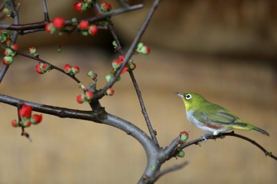 2月20日,在北京丰台区云岗街道,一只小鸟立在枝头。  新华社发(封晓东 摄)