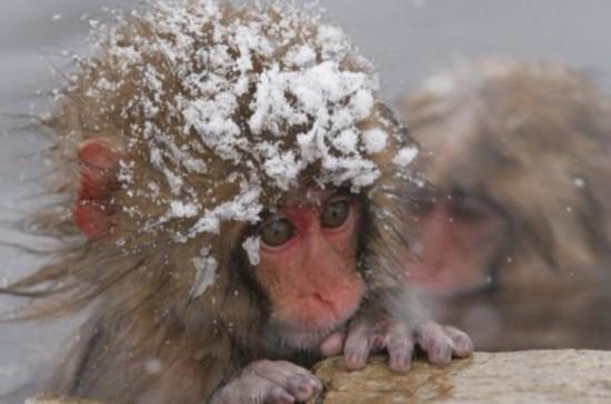担忧外来基因入侵 日本动物园杀死57只雪猴