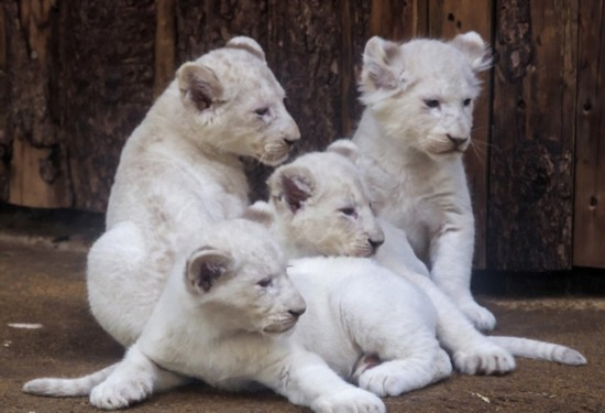 德动物园珍稀白狮宝宝和父母抱作一团亲密温馨--陕西