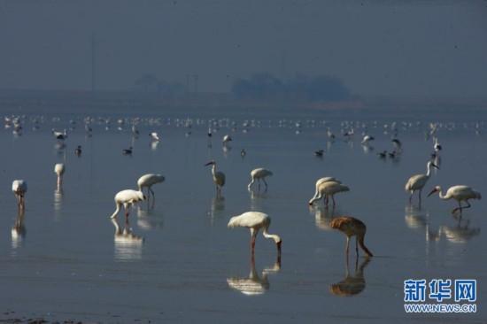 鄱阳湖越冬候鸟准备北迁