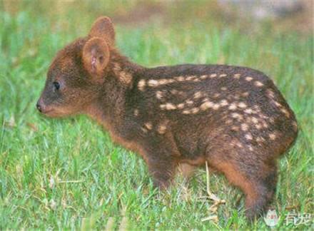 最小品种鹿诞生 娇小可爱又像小鹿又像小兔(组