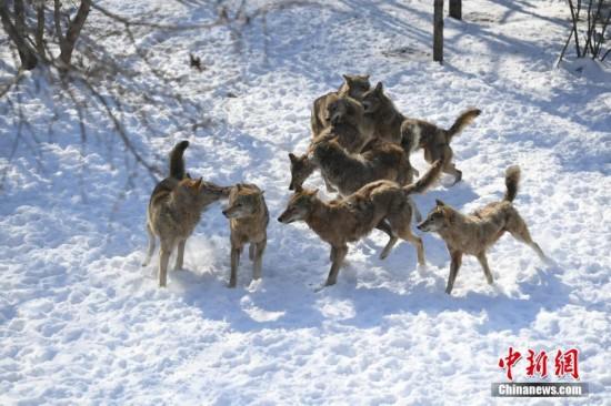 长春多轮降雪后 动物们开启狂欢模式