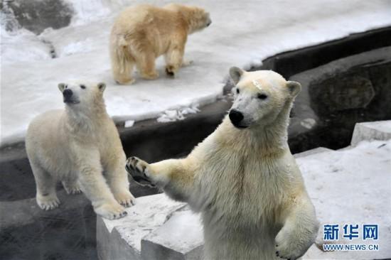 2月22日在俄罗斯莫斯科市动物园拍摄的一只憨态可掬的北极熊.