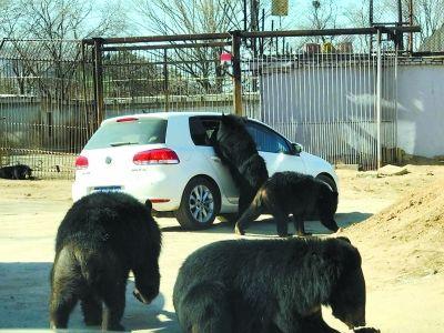 八达岭野生动物园:车窗开了黑熊险些钻进车里