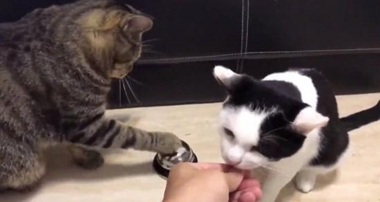 聪明!美国两只小猫轮流按铃获取零食(图)