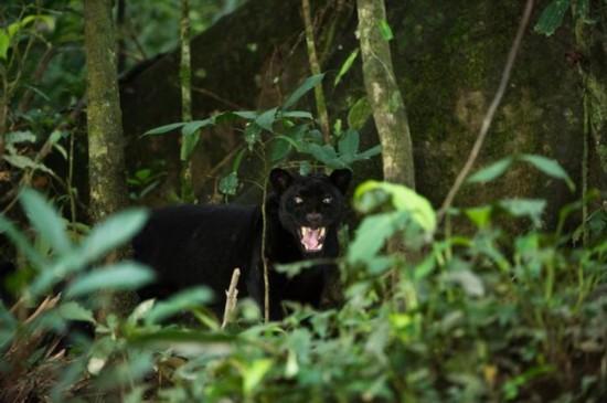 英摄影师与厄瓜多尔黑豹相处80分钟 拍罕见照片
