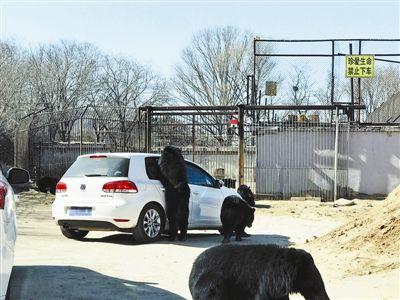 八达岭野生动物园黑熊袭车过程