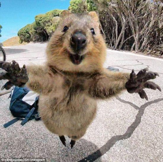 求抱抱萌翻了!短尾矮袋鼠跳到相机前甜笑摆姿势