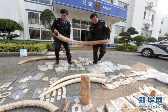 (法治)(1)福建森林公安破获一起特大象牙非法制售案件