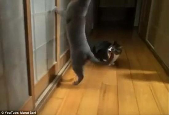 """喵星人""""怒了""""!暴脾气小猫猛敲玻璃催主人开门(图)"""