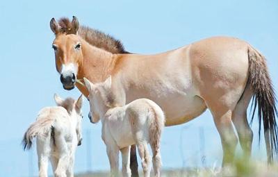 新疆野马回归记