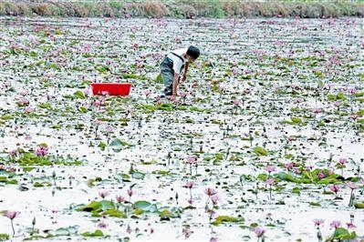 海棠湾水稻国家公园荷塘好风光 农户采莲忙