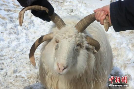新疆昭苏县发现罕见四角羊(组图)