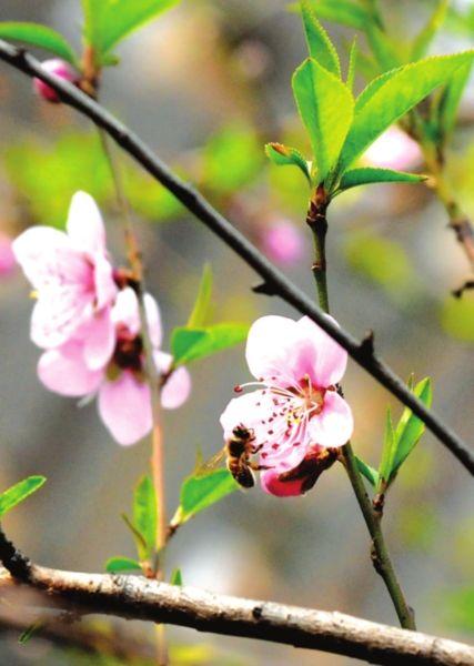 昨日苏城阳光明媚,街头、河边到处桃红柳绿,满目春色。王建中摄
