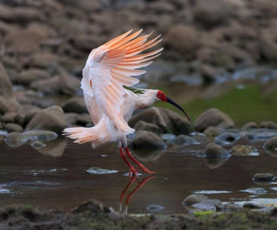 The crested ibis is also known as the