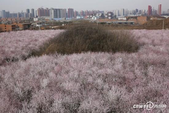 正是踏青赏花时 西安明秦王墓周围300亩山桃花盛开