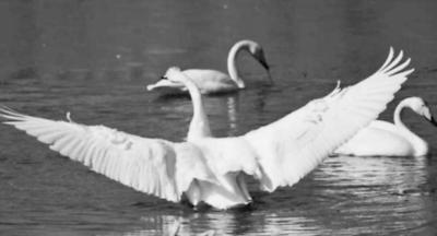 白天鹅时隔十二年再现清水河