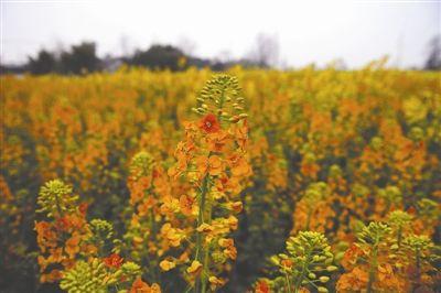 高级农技师耗时40年 培育出五彩油菜花