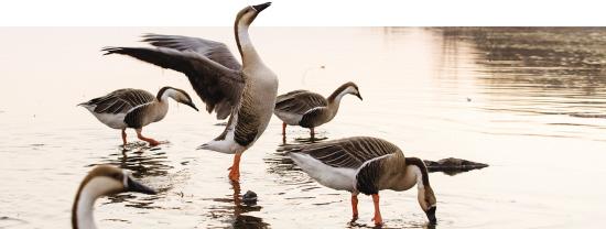 春江水暖鸭先知 浑河水美候鸟至