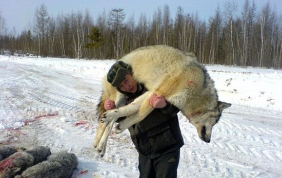 俄议员提议高端直升机游猎项目解决狼群泛滥问题