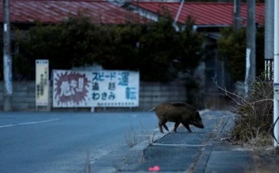 福岛核辐射隔离区野猪横行 居民已捕捉300头