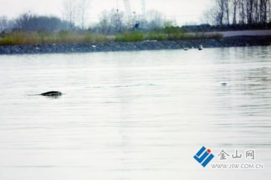 镇江豚类保护区现20余头江豚戏水画面