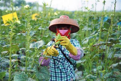 黄秋葵种植带动农民致富