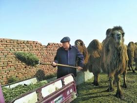 木尔扎别克在给骆驼准备饲草料。□本报记者张婷摄