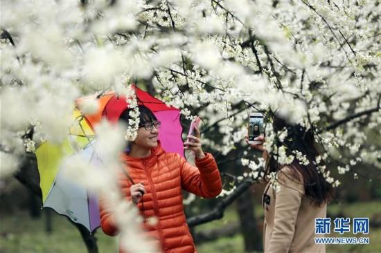 #(社会)(1)梨花如雪引客来
