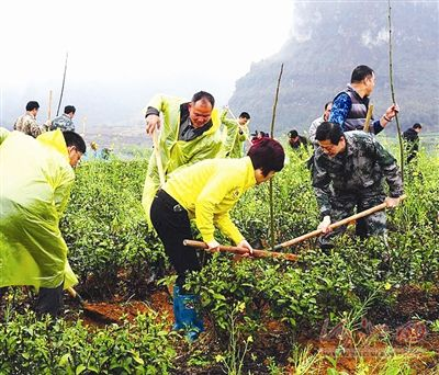 宜州核桃茶树套种促增收