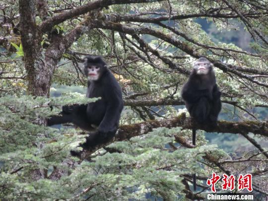 过去15年怒江金丝猴栖息地丧失2.6%