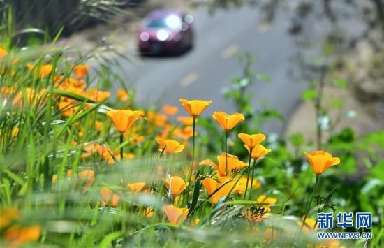 美国加州:野花怒放
