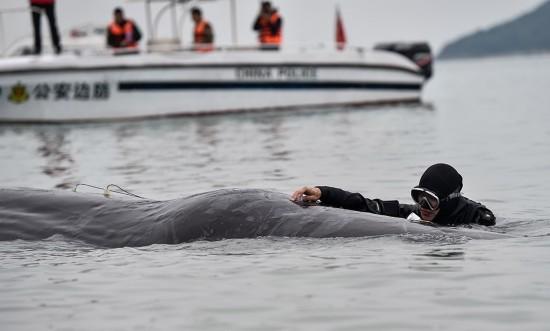 3月14日,在惠州港油库码头附近海域,潜水员在抹香鲸身上安装仪器对其进行听觉测试,判断其健康状况。