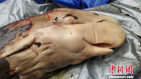 搁浅大亚湾死亡抹香鲸体内发现胎盘专家称属世界首例