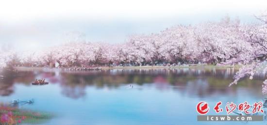 湖南省森林植物园樱花湖边,樱花灿若云霞。