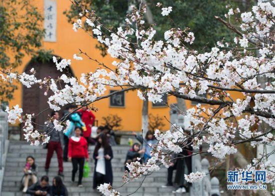 南京鸡鸣寺:周末赏樱花