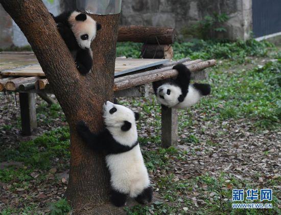 重庆动物园三只大熊猫幼崽集体亮相